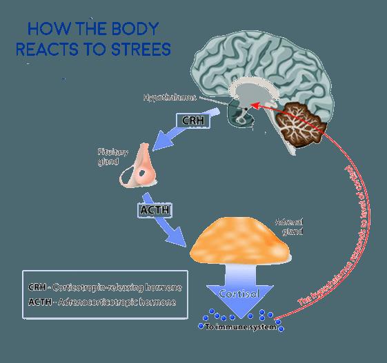 Adrenal Fatigue - HCIM